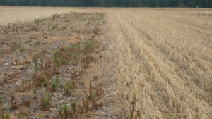 Fallow (left) vs. cereal rye cover crop (right).